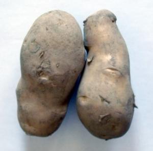 じゃがいも ジャガイモ 植え方 栽培 プランター