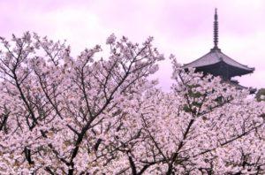京都の桜 名所 おすすめ ランキング 時期 見頃 地図 観光