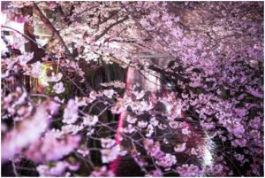 夜桜 名所 ランキング