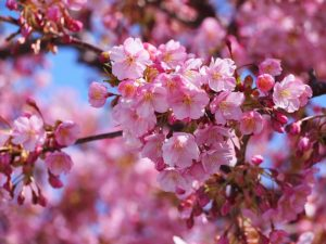 まつだ桜まつり 混雑 アクセス 駐車場